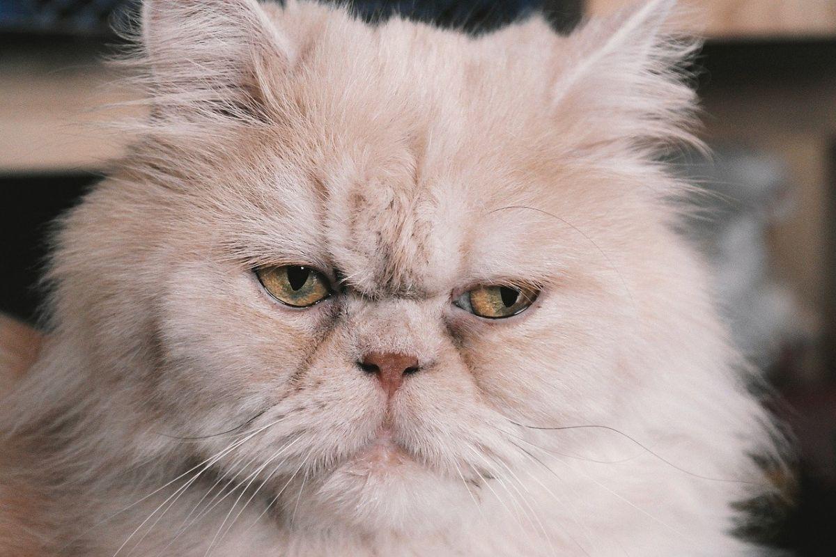 gatto persiano con l'espressione triste