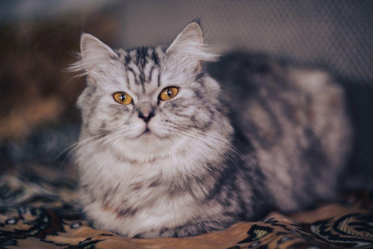 gatto persiano con gli occhi arancioni