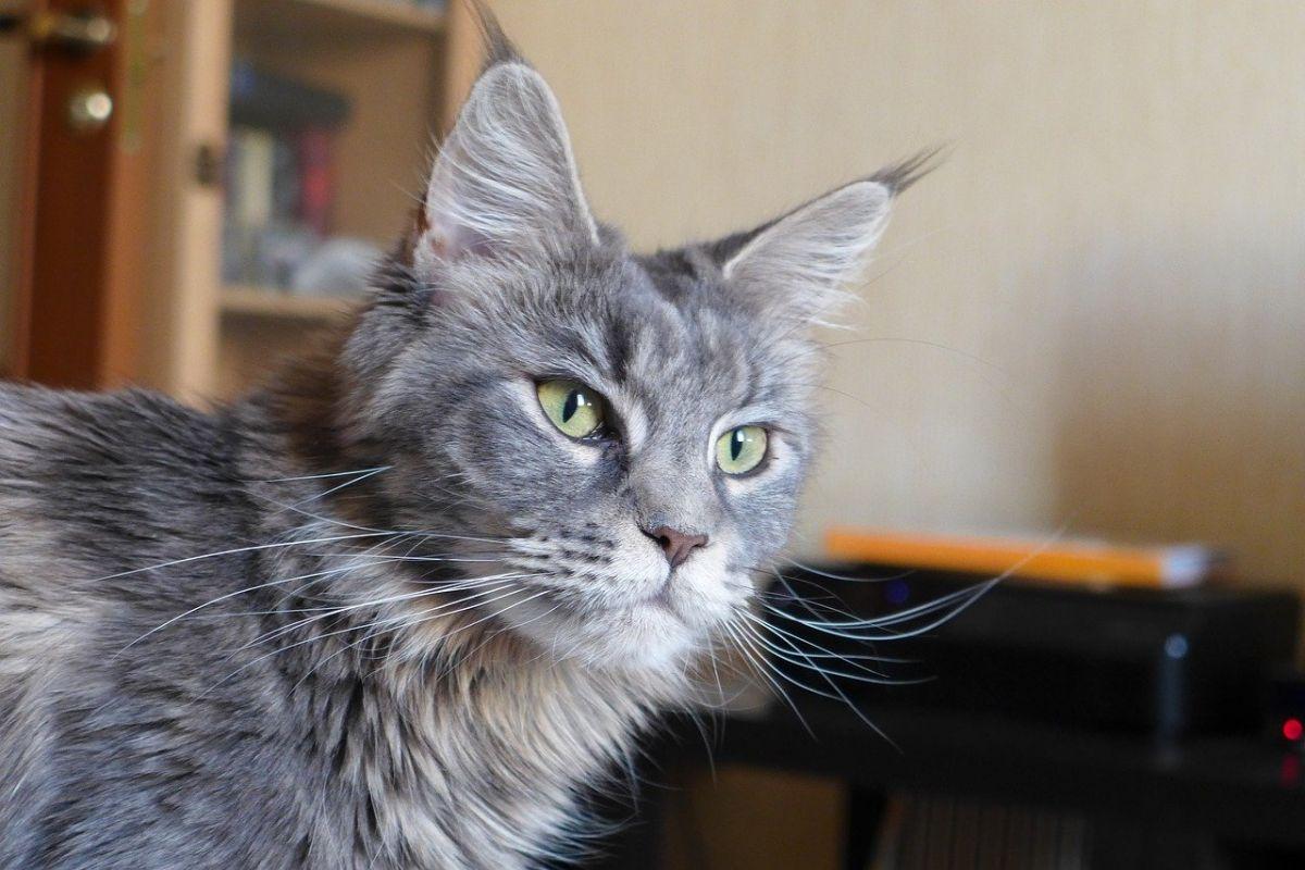 gatto di razza maine coon