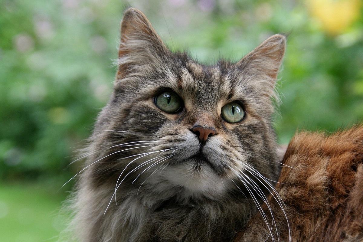 gatto con il pelo lingo