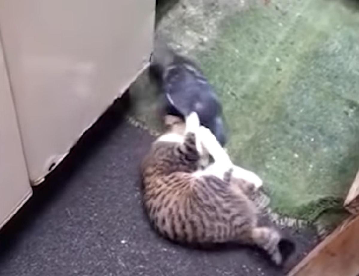 gattino soriano un piccione brasile