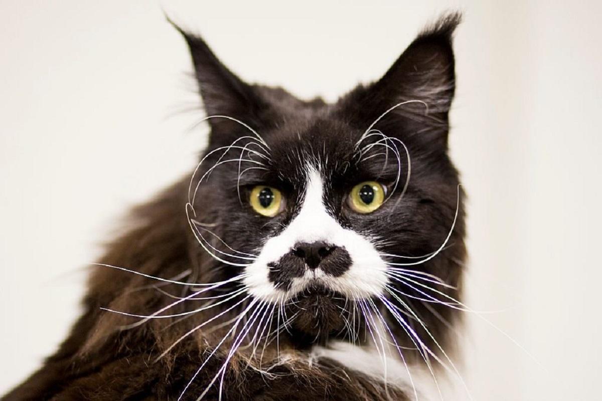 gatto con baffi lunghi