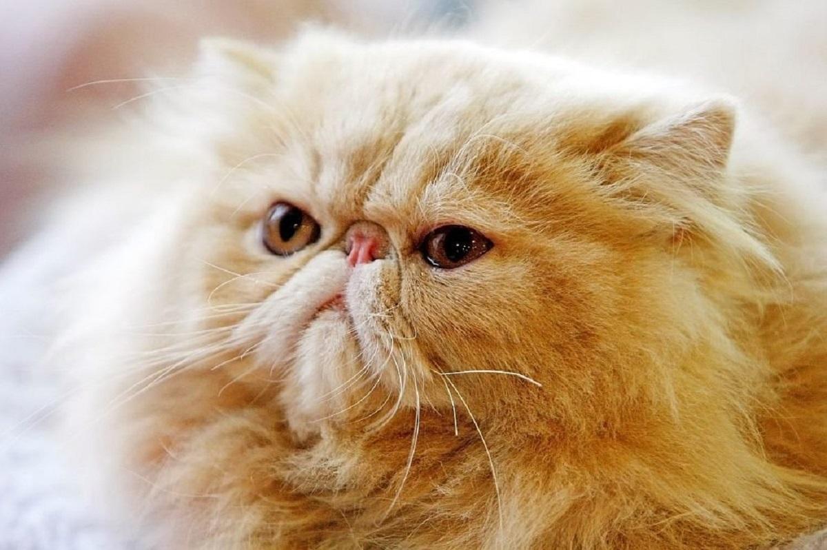 gatto con naso retratto
