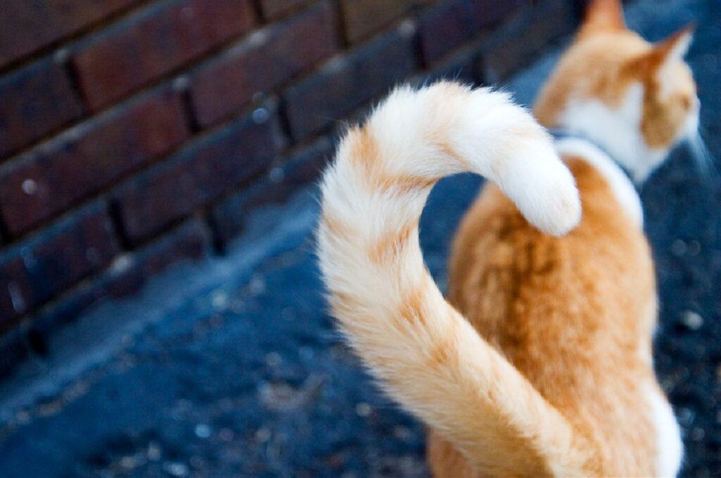 coda dritta gatto