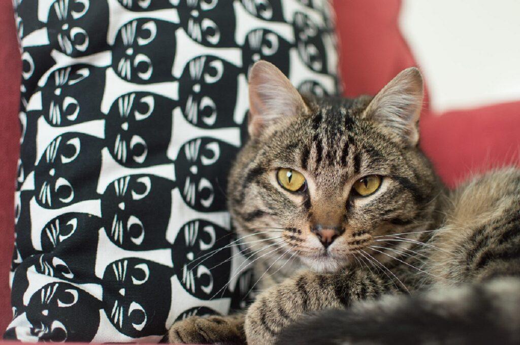 gatto cuscino foto