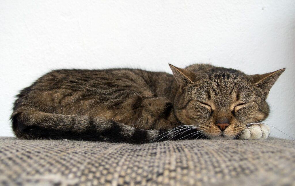 gatto dorme cuccia
