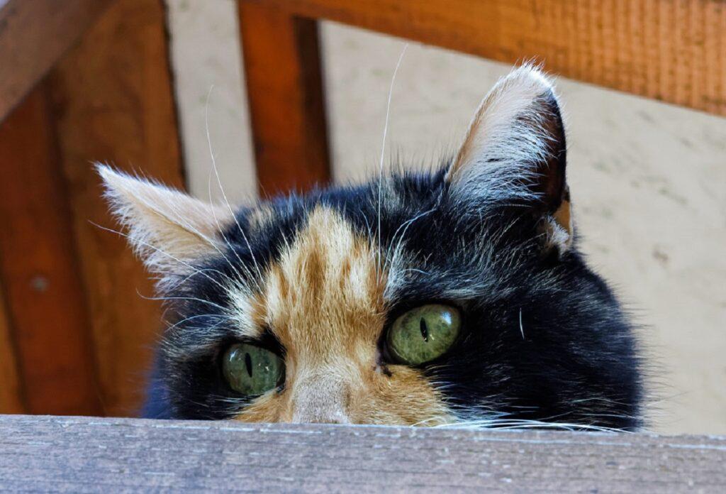 gatto micio occhi