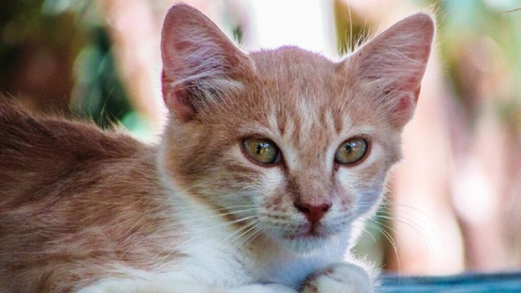 gatto dolce sguardo