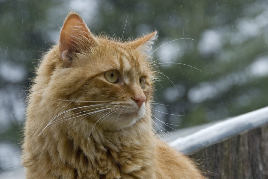 gatto arancione splendido