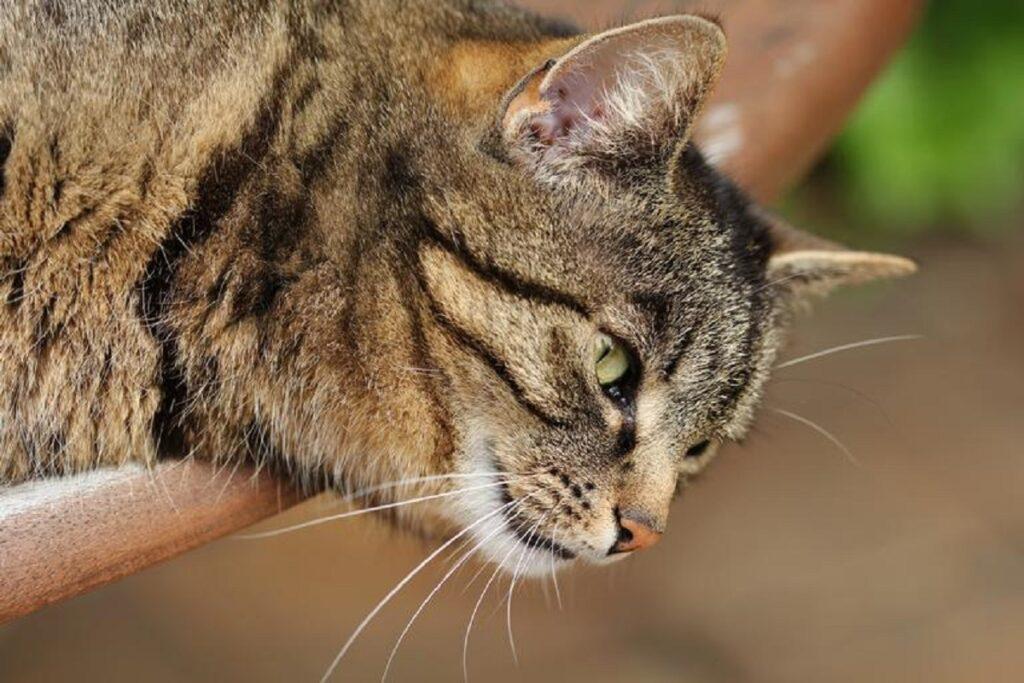 gatto espressione seria