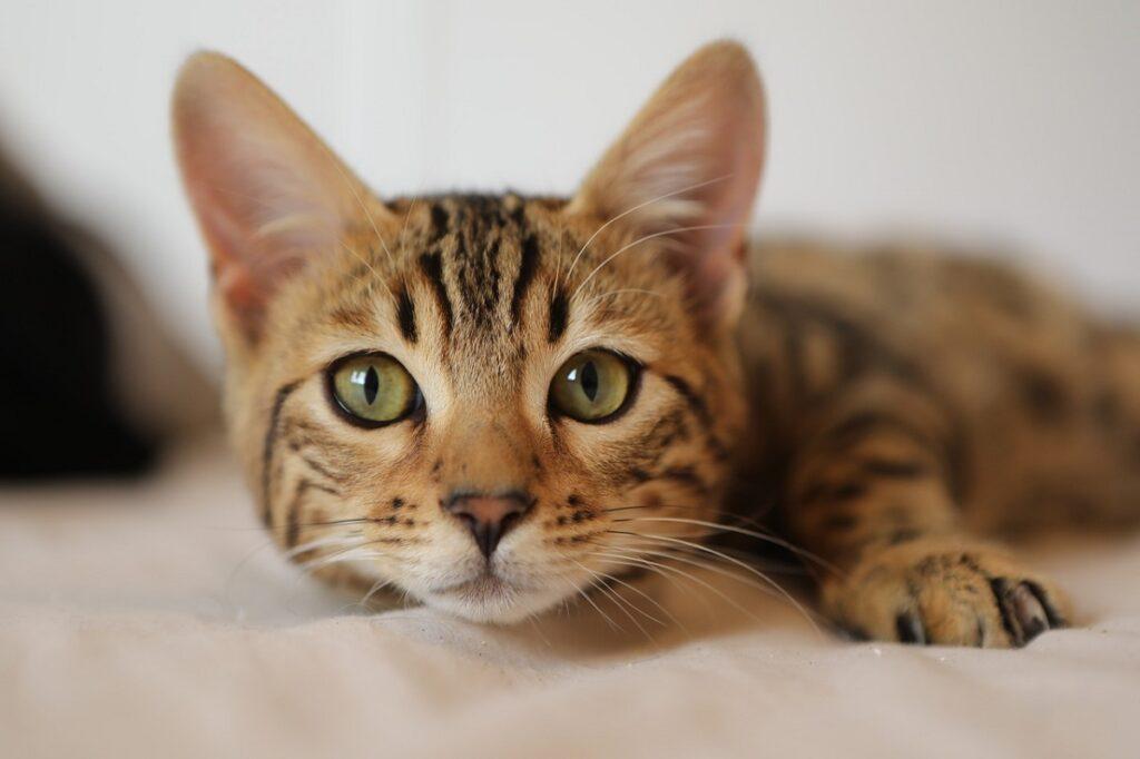 gatto micio foto
