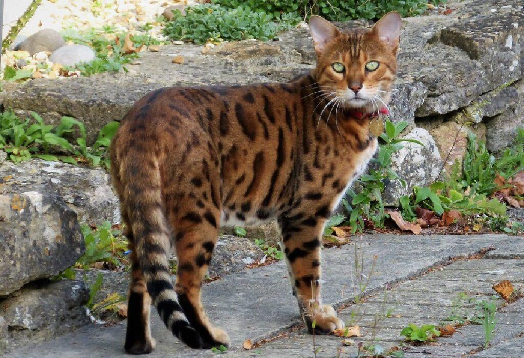gatto bengala splendido
