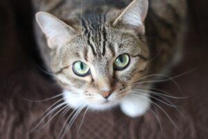 gatto sguardo occhi