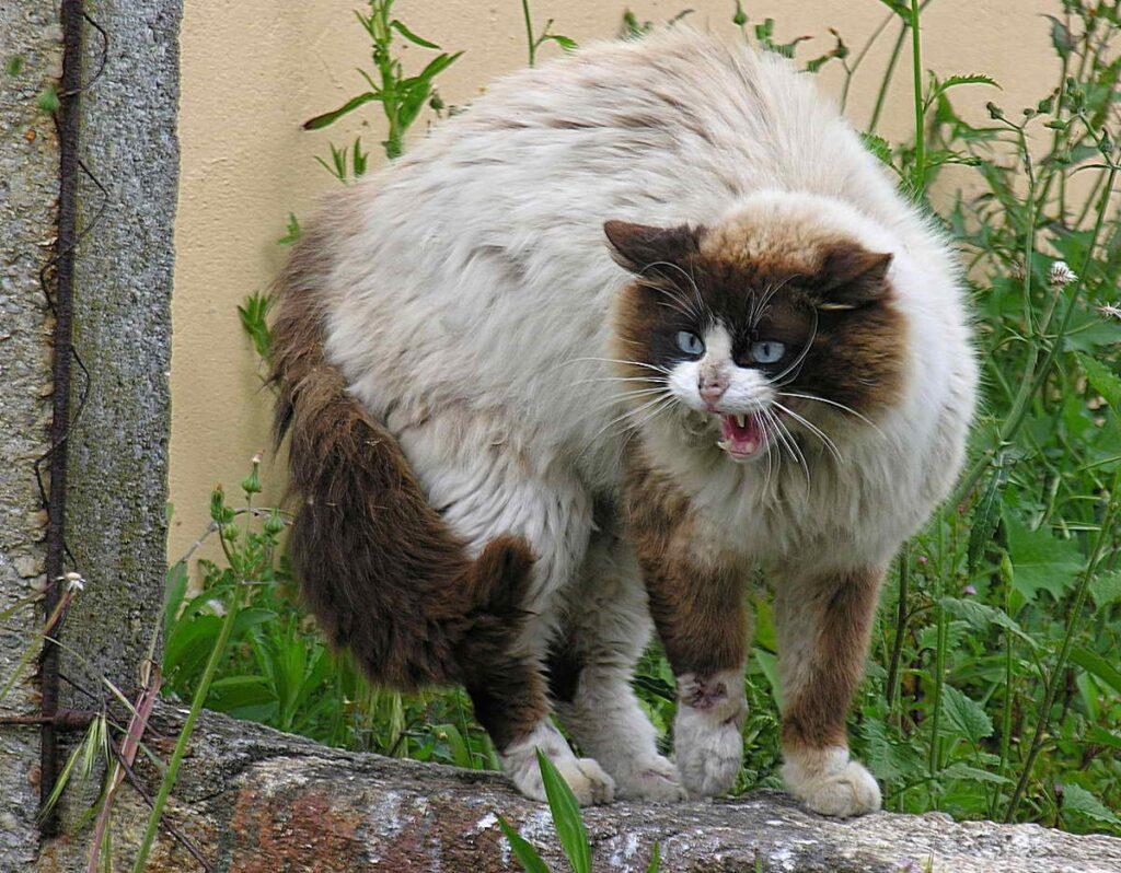 gatto schiena alzata
