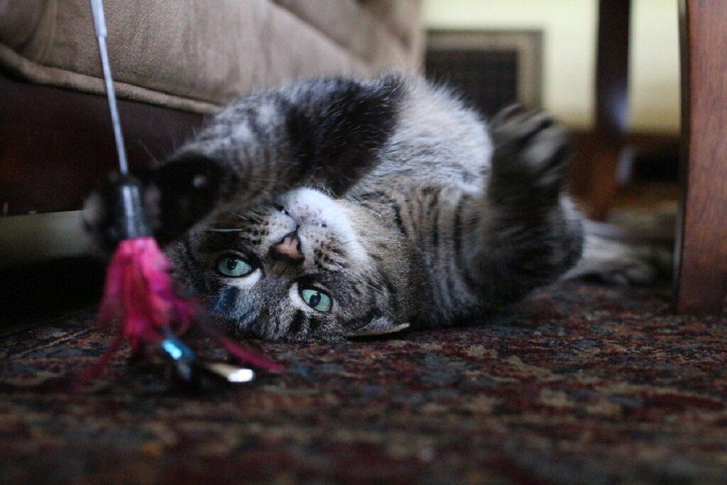 gatto giocare giocattolo