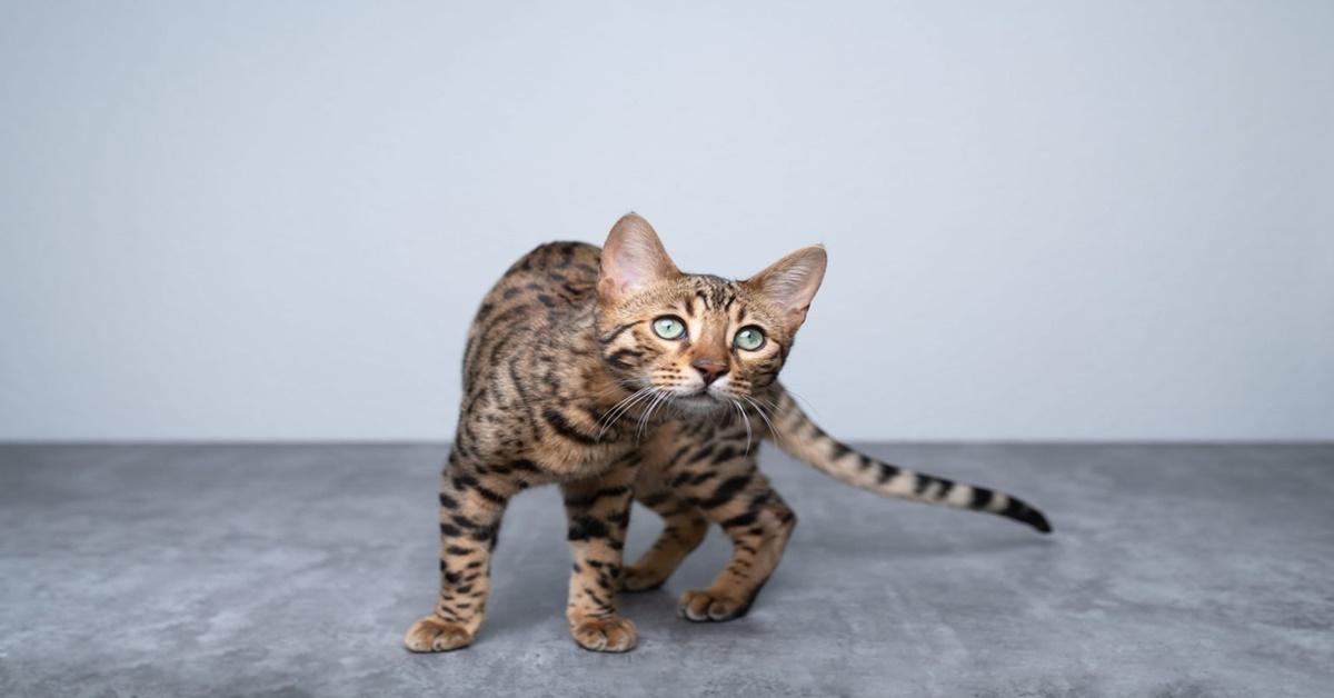 8 razze di gatti che vengono rubate più spesso-Bengala