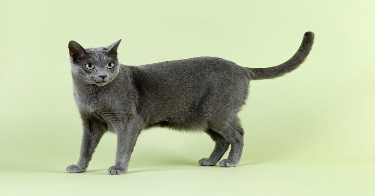 8 razze di gatti che vengono rubate più spesso-Blu di Russia
