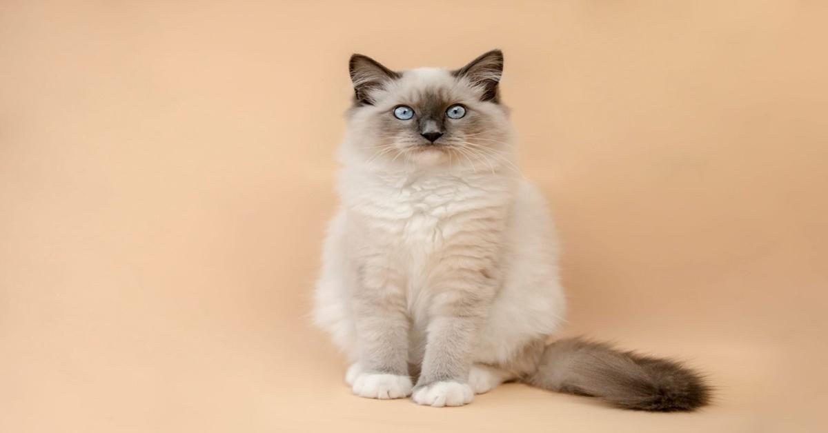 8 razze di gatti che vengono rubate più spesso-Ragdoll
