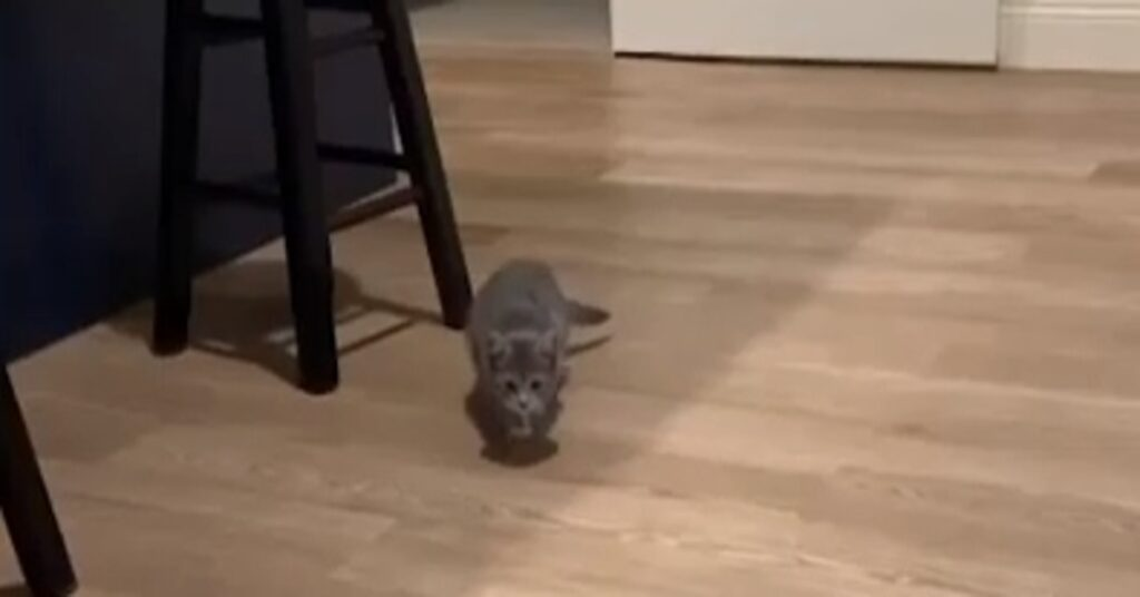 Boo gattina comandi video