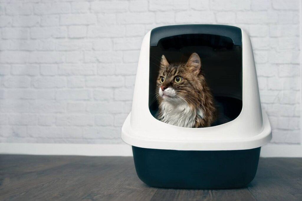 gatto nelle lettiera chiusa