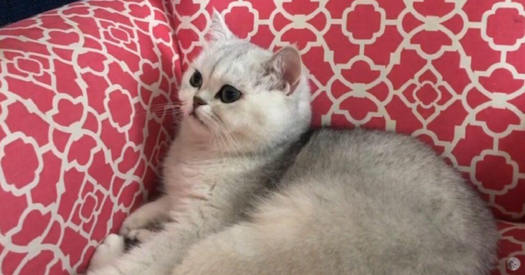 Gattina British shorthair fa un riposino nel suo nuovo divano