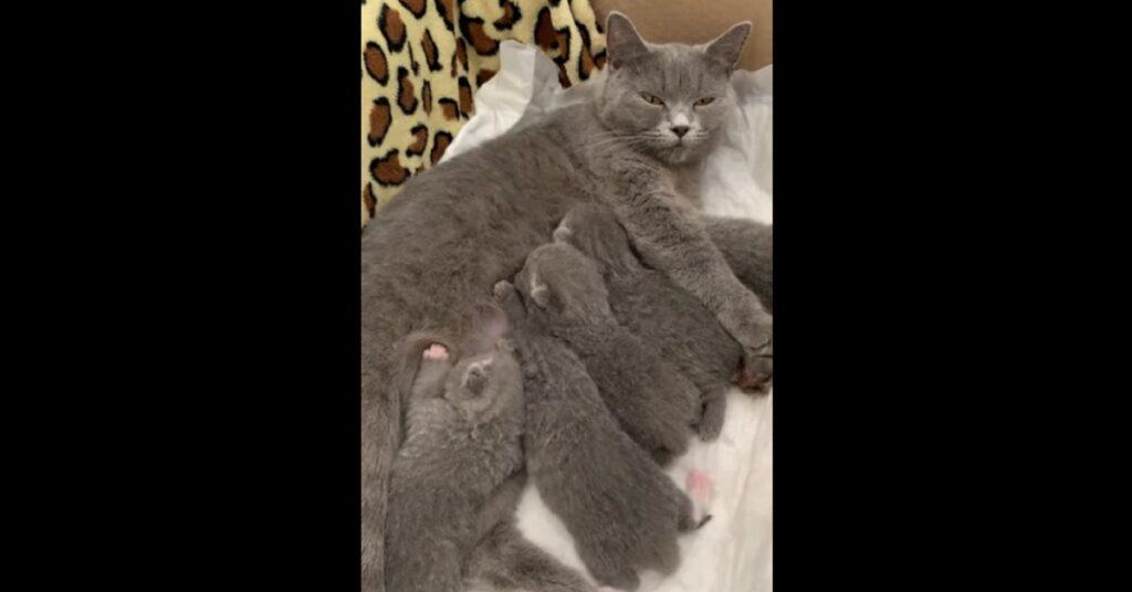 gattina British shorthair gioca con i suoi cuccioli