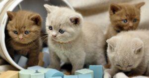 Gattini British Shorthair giocano su un ponte di legno