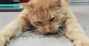 Gouda mangia erba gatta