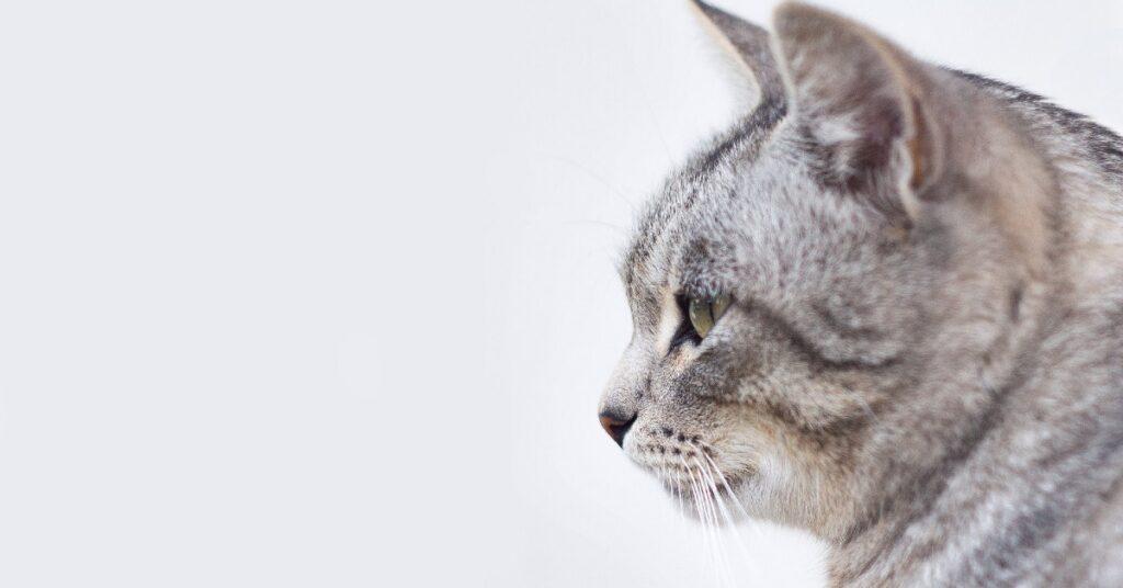 gattino British shorthair che fa i massaggi al suo amico Shiba Inu