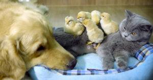 Gatto con un Golden Retriever e dei pulcini