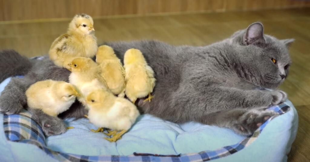 Gatto con dei pulcini