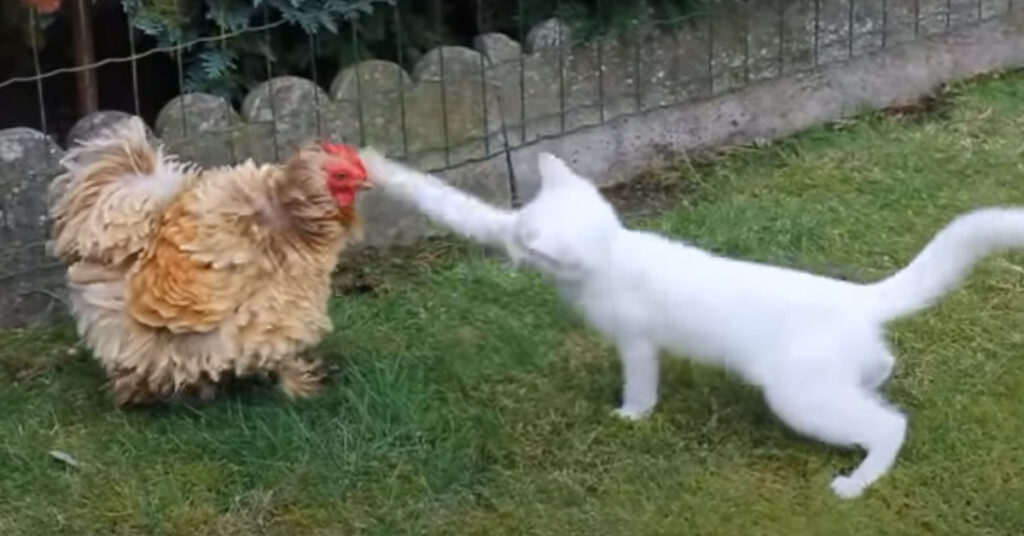 Gattino contro gallo