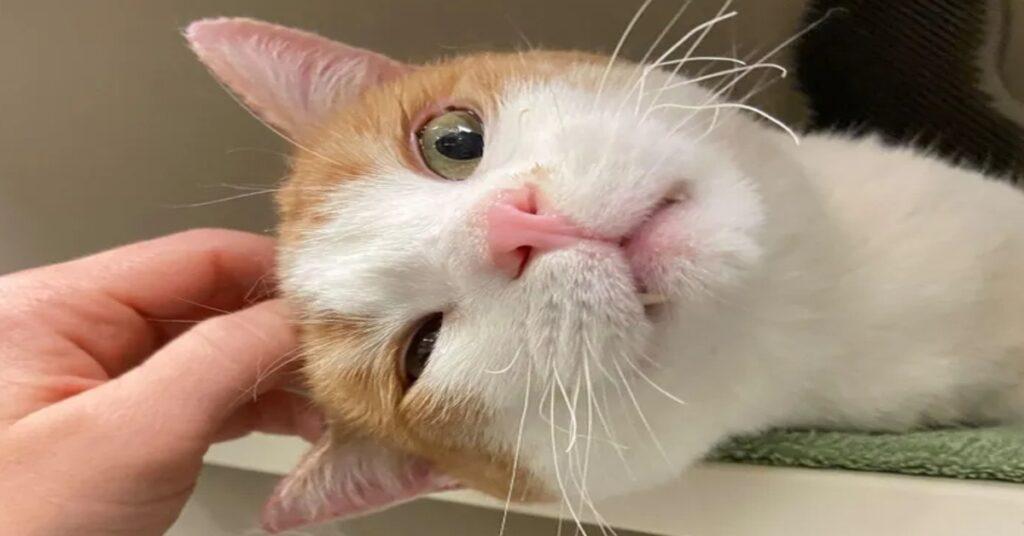 Rutile gattino video