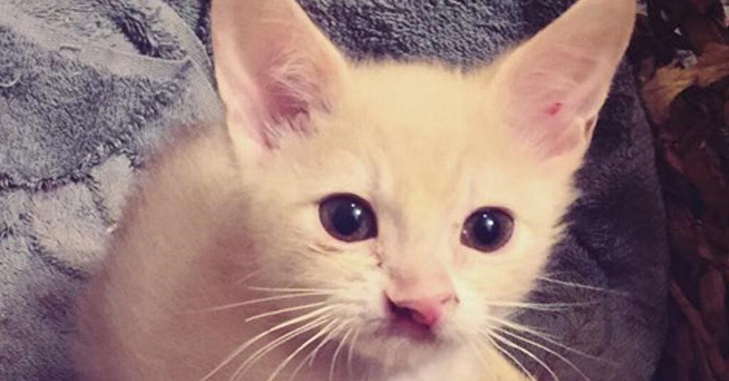 Gatto con labbro leporino