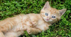 gattino rosso sul prato