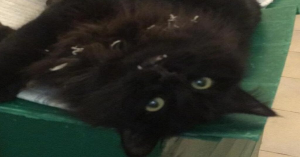 Mordicchio il gattino aspirapolvere cerca casa