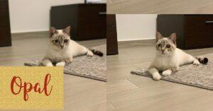 Opal gatto in adozione