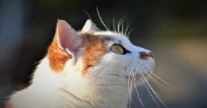 Gatto bianco e rosso guarda in alto