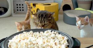 Gatti osservano popcorn
