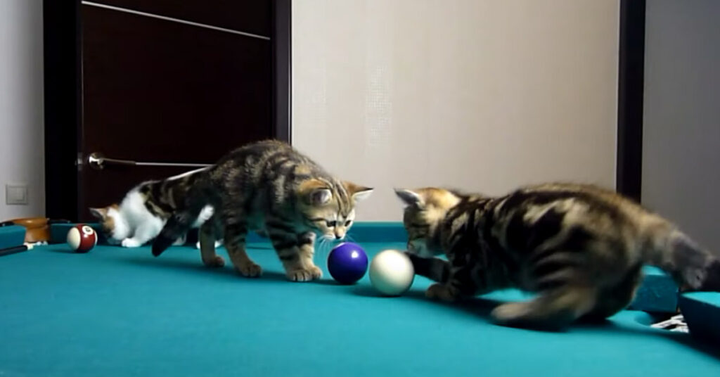 Gatti giocano a biliardo