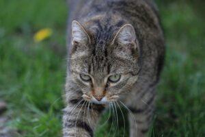 gatto soriano prato