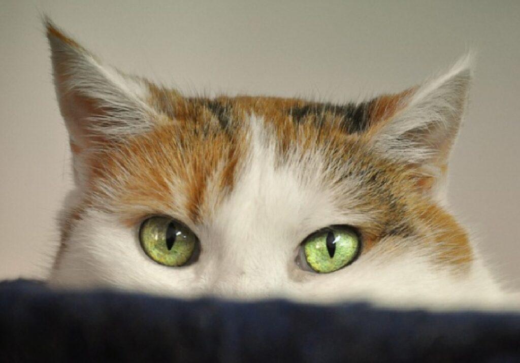 gatto nascosto primo piano