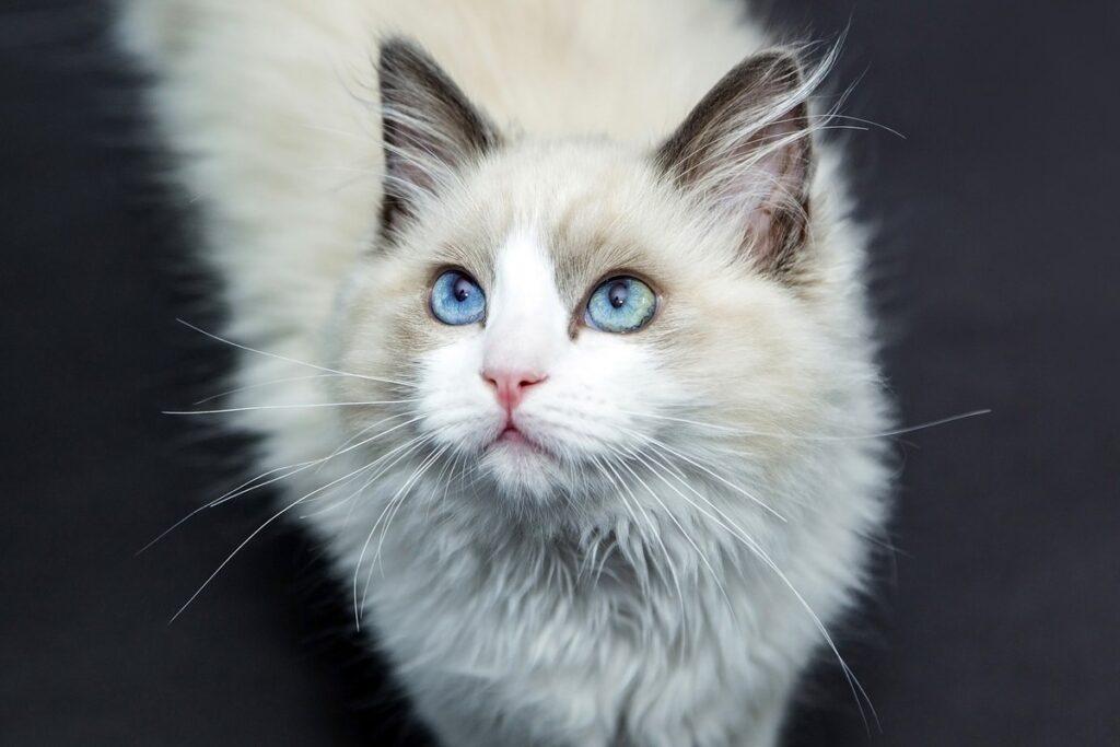 gatto con gli occhi celesti