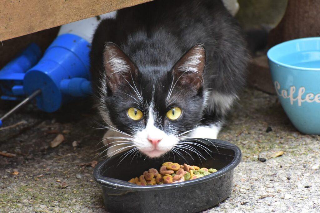 gatto bianco e nero con ciotola di crocchette
