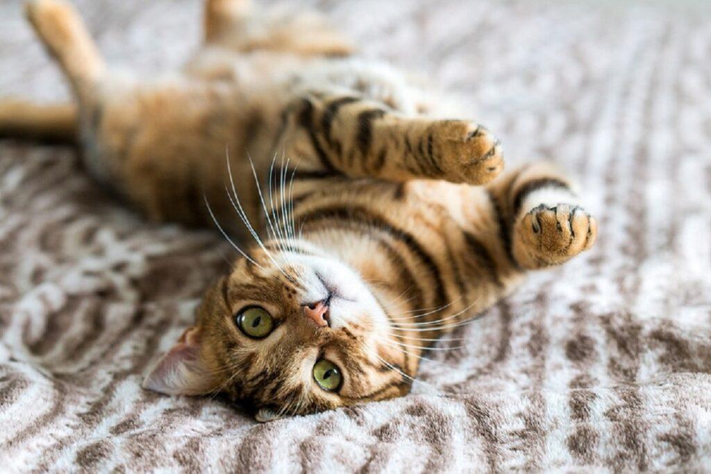 gatto si rotola