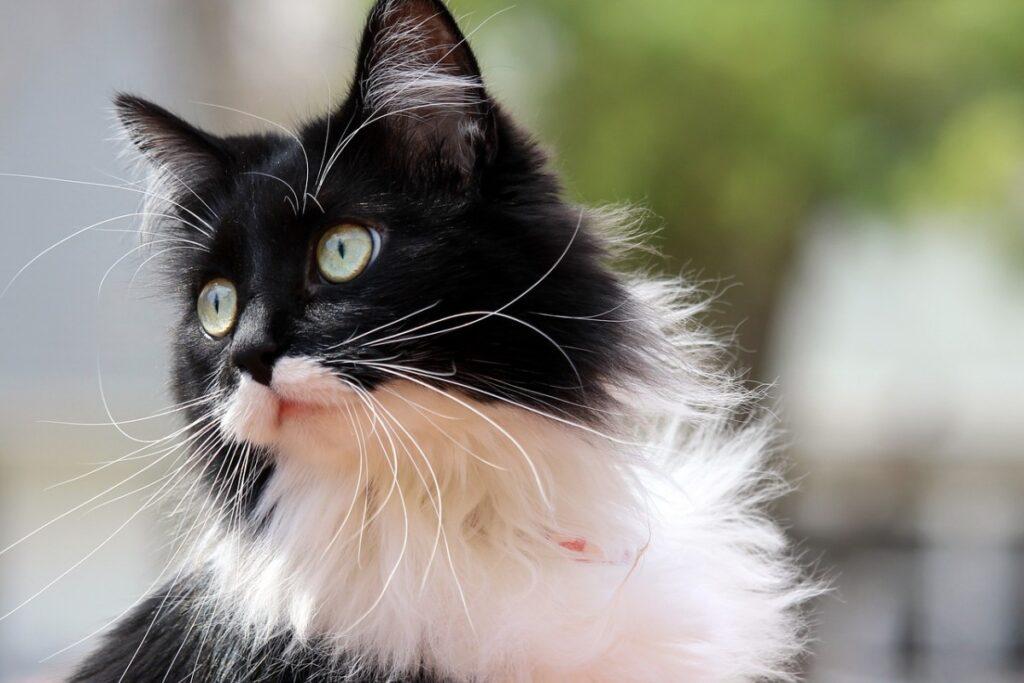 gatto bianco e nero a pelo lungo
