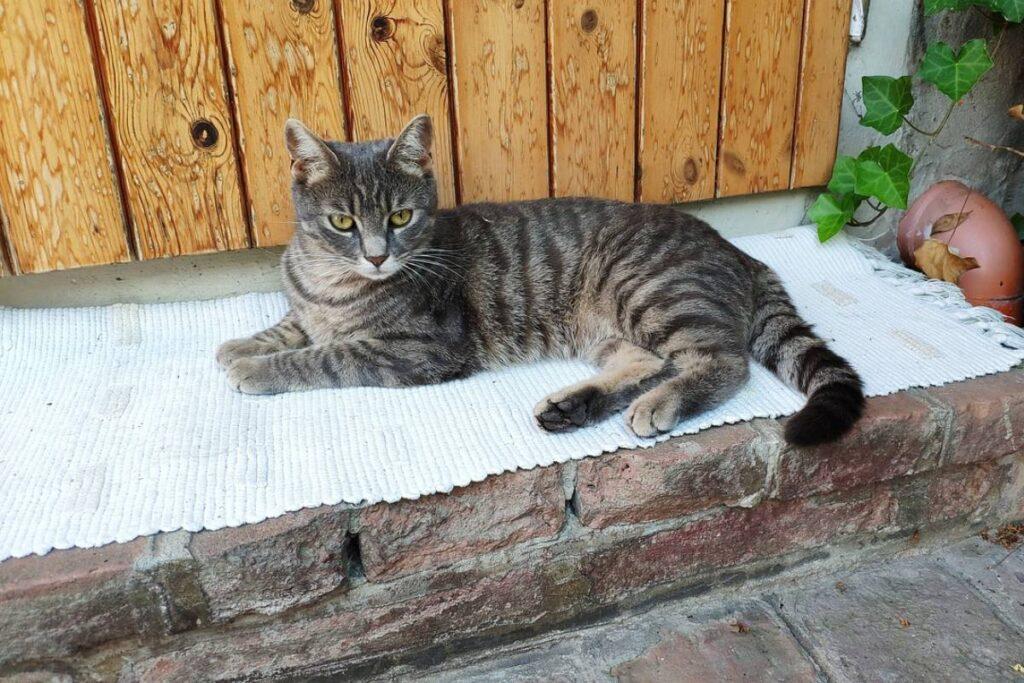 gatto tigrato disteso davanti alla porta