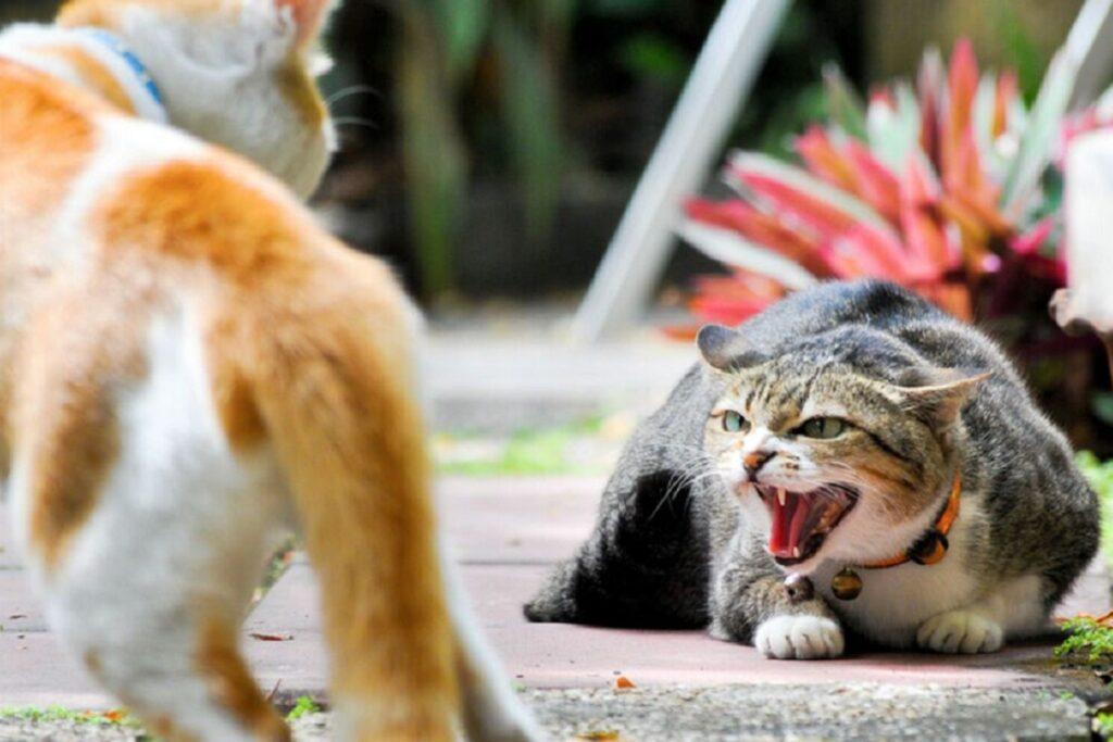 gatti pronti alla lotta