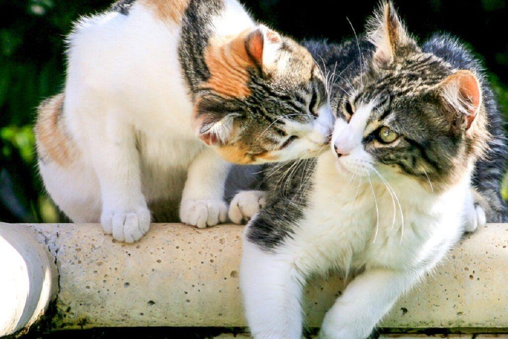 gatti che si annusano