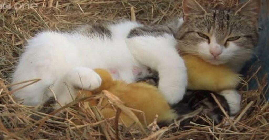 mamma gatta con tre anatroccoli